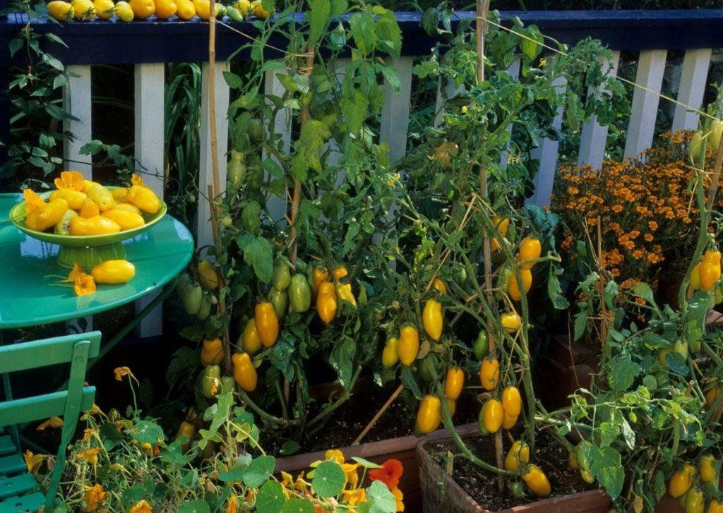 Même sur un balcon on peut planter des grosses tomates