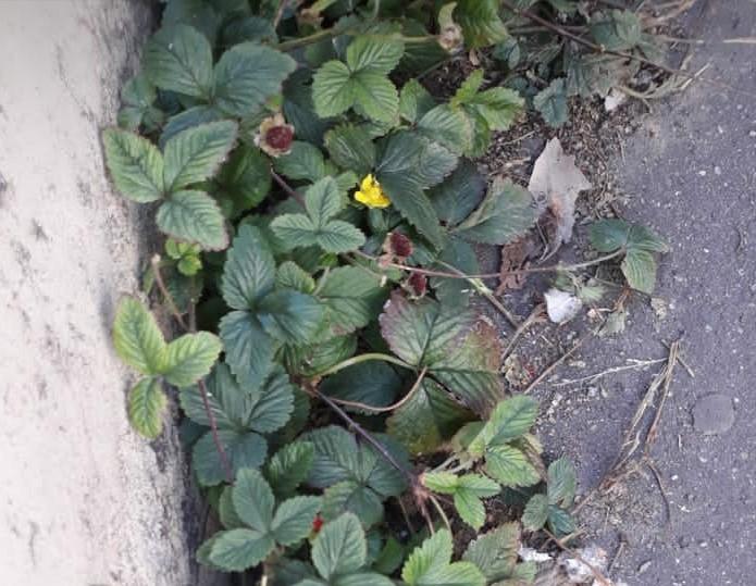 fraisier sur les trottoirs de paris